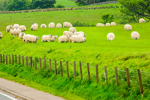 photo credit: Scotland sheep via photopin (license)
