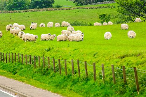 photo credit: Scotland sheep via photopin (license)