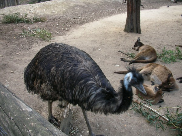 emu と kangaroo (メルボルン動物園)